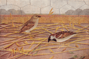 BIRDS OF INDIA: Indian House-Sparrow (Passer domesticus Indicus),  print 1924